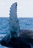 whale fin turbine blade
